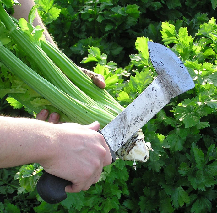 Trimming Fenland celery to the traditional pencil point