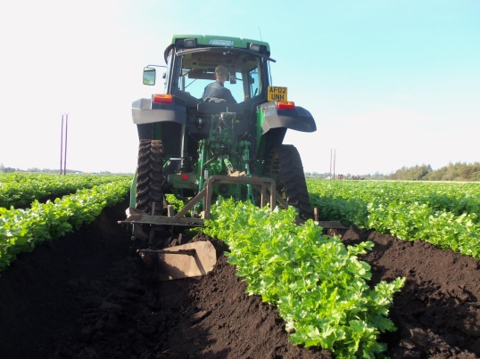 fenland celery earth up 28